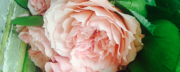 cropped-cabbage-roses.png